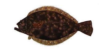 """Flounder Portrait"" by fish artist Randy McGovern."