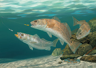 Saltwater fish prints by randy mcgovern 4 of 8 fish for Red fish pictures
