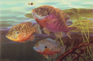 """Gill Gang"" - Sunfish by fish artist Randy McGovern."