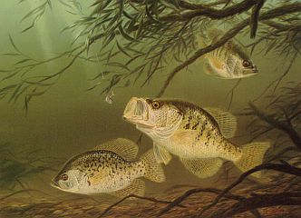"""Shady Deal"" - Crappies by fish artist Randy McGovern"