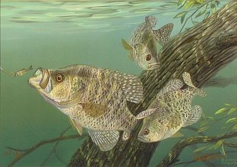 """Tree Dwellers"" - Crappies by fish artist Randy McGovern"